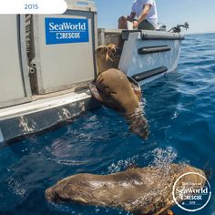 This sea lion is diving back into the ocean after a quick recovery at SeaWorld! #365DaysOfRescue