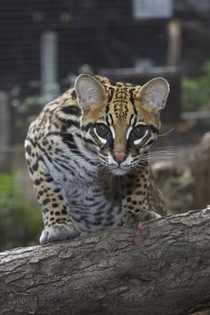 Ocelot (by Official San Diego Zoo)