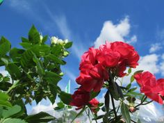 Summer rose from Mother's Day  #Rose  #Flowers  #Gardening
