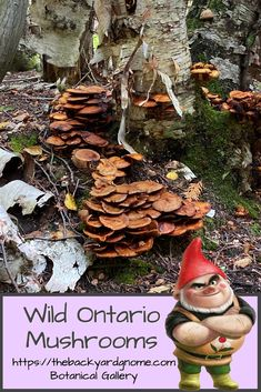 Pictures of interesting and beautiful wild Ontario mushrooms such as this group of Honey Mushrooms (Armillaria). Wild Mushrooms, Stuffed Mushrooms, Different Plants, Ontario, Honey, Backyard, Entertaining, Group, Christmas Ornaments