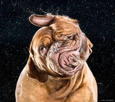 Dogue de Bordeaux by Carli Davidson #Photography #Dogs