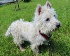 #Donate 4 #dog #rescue @WestiesInNeed! All proceeds will be donated at the #Ottawa #Westie #Walk. Thank you 4 your help!