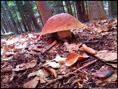 borowik szlachetny - grzyby  #grzyby #mushroom #grzybobranie #borowik #prawdziwek #szlachetny #borowik  #forest #na_grzyby ##grzyby #jadalne #grzybki #grzyby_w_Polsce #zbieranie_grzybów #grzybiarz #Beskidy #Poland #lasy_Polskie #Polskie_grzyby