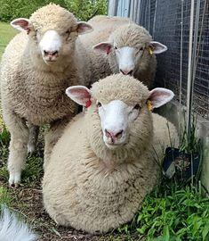 Dorset Sheep, Farm Animals, Cute Animals, Sheep Farm, Farm Yard, Lambs, Livestock, Farm Life, Cattle