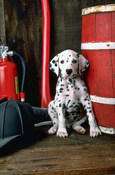 Dalmatian Puppy With Fireman's Helmet Photograph by Garry Gay