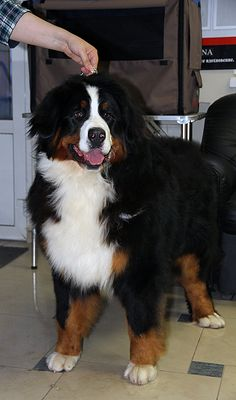 Bernese puppies for sale» #puppy, #bernesepuppyforsale, #bernesemountaindog Bernese puppies for sale Spirit Dream kennel - https://www.facebook.com/irina.gudkova.3 Spirit Dream Kaligula- JCh Ru
