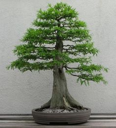 bonsai trees | Bald Cypress Bonsai Trees are a perfect choice for anyone who wants to ...