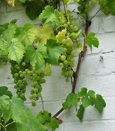 """Druivelaar """"vitis"""" """"Vroege van der Laan """" Standplaats: volle zon Bladverliezend Klimplant snoeien: na de oogst naar behoefte bloeitijd: juni hoogte: 0-700 cm winterhardheid: goed bloemkleur: groen vruchten"""