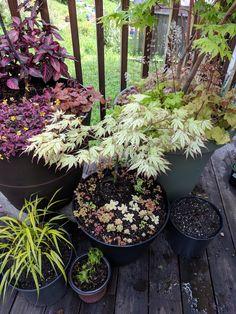 Acer palmatum peaches and cream! Gardening Tools Names, Gardening Tips, Garden Tools, Easy Garden, Garden Ideas, Acer Garden, Acid Concrete, Zen, Starting A Vegetable Garden