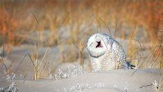 Snowy owl at Jones Beach Long Island New York ( Vicki Jauron/Getty Images) Flamingo Bird, Owl Bird, Pet Birds, World Laughter Day, Comedy Wildlife Photography, Photography Awards, Funny Animals, Cute Animals, Funny Poses