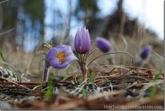 The Prairie Crocus - the South Dakota State Flower - can be found across the state @Patricia Nickens Derryberry Rapid City