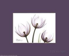X-Ray Blackberry Tulips Prints by Albert Koetsier - AllPosters.co.uk