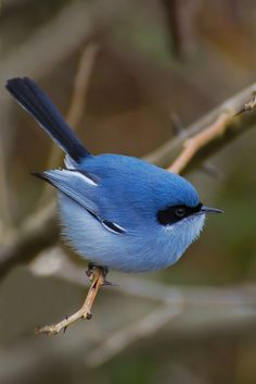 Superb Blue Wren. Male. Females are brown. Tiny, lovely birds. From Australia.