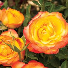 """So gorgeous!! Summer Surprise Hybrid Tea Rose...for in front of our bedroom window as a """"privacy screen""""?"""