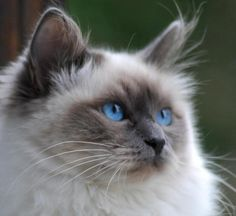 sacred burma More – Tq Best Shares Animals And Pets, Funny Animals, Cute Animals, Kittens Cutest, Cats And Kittens, Ragdoll Kittens, White Kittens, Black Cats, Pretty Cats