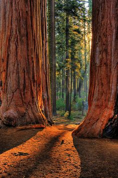 redwoods in California