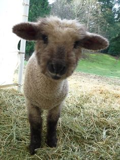 way too cute. the little oxford lamb.