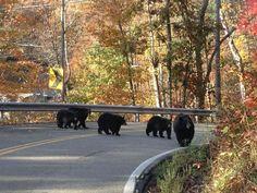 Black bear family ~ Gatlinburg, Tennessee