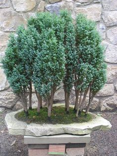 Bonsia - Lawson Cypress (Chamaecyparis Lawsoniana)