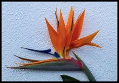 Bird of Paradise Flower-1=   Bird of Paradise Flower   Flickr Flower Bird, Cactus Flower, Birds Of Paradise Flower, Exotic Flowers, Love Birds, The Creator, Creative, Projects