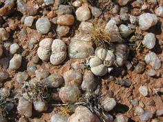 Dinteranthus vanzylii