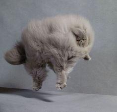 20 chats qui sont tellement énormes et poilus que vous allez en tomber immédiatement amoureux : le 11 est trop craquant !