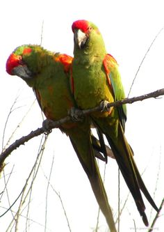 red_fronted_macaw_22