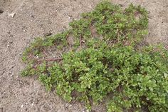 Purslane is a tasty, easy-to-grow 'weed' and a rich source of Growing Weed, Cannabis Growing, Portulaca Oleracea, Vegetable Salad Recipes, Mother Earth News, Landscaping Company, Organic Gardening, Vegetable Gardening, Organic Vegetables