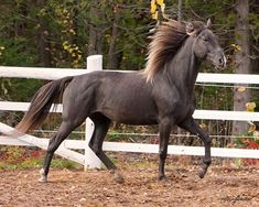 Rocky Mountain Mare - Willow