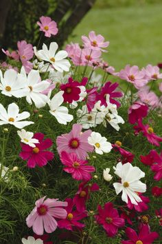 Cosmos Plants - Sonata Mix: The easy way to fill large beds and borders with colour, Sonata will produce a dramatic display of harmoniously blended, daisy-like flowers throughout the summer, se… Garden Mum, Autumn Garden, Rain Garden, Cosmos Plant, Sutton Seeds, Best Perennials, Shade Perennials, Fall Plants, Shade Plants