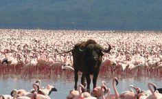 One of these is not like the others. Lake Nakuru, Kenya.  (Courtesy ecsmith/myBudgetTravel)