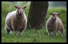 hodowcy owiec - Google Search