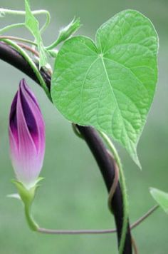 Image result for morning glory bud