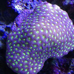 #nofilter #iphone5s #coral #reeftank #coralreeftank #reeftanksofvine #reef #reefpack #reef2reef #reefcandy #reefersdaily #reefrEVOLution #saltwatertanks #shallowreeftank #aquariums #aquariumphotography #coralreef #coraladdict #reefaholiks #reefjunkie #livetanks #reeflife #instareef #reefgeek #allmymoneygoestocoral #instareef #tankwars #reefpackworldwide #instafish