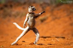 """This is a wild Verreaux's Sifaka """"dancing""""."""