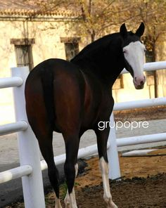 UNICA LXXX. A rare splash white PRE mare. This colour is an old trace of the first Spanish horses. It is not accepted in the standards of the breed, but splash white is present in a number of American breeds. GRUPO PRE - La web del caballo de pura raza española