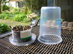Mini-greenhouses, first step to combat desertification.  Yoghurt or other plastic pots #gardening #garden #diy