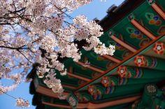 Seoul Cherry Blossoms