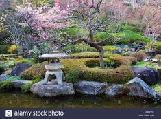 Japanese garden with flowering plum trees and stone lantern in ...