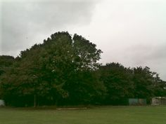Difficult to see, I only had my phone camera..but dozens of Swallows flying in and out of these trees, getting ready to migrate.. 17th Sept 2013.. Autumn coming