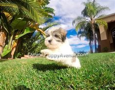 If you have decided to adopt a Havanese puppy, you can do this by choosing Puppy Avenue, a great resource for finding your new puppies in California, the best breeders in this area.