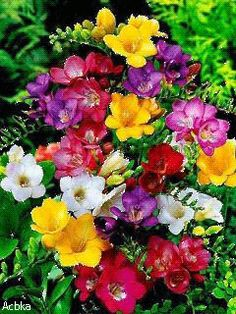 Flowers: Garden Freesia Mix ® - Scientific name: Freesia sp. Exotic Flowers, Amazing Flowers, Beautiful Flowers, Freesia Flowers, Bulb Flowers, Different Types Of Flowers, Trees To Plant, Spring Flowers, Garden Plants