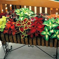 Find a sunny window sill, and Coleus plants will perform nicely indoors. Originating in Africa and Indonesia, exotic looking Coleus plants perform well as shade garden plants, in pots and containers, and in hanging baskets. Container Flowers, Container Plants, Container Gardening, Outdoor Plants, Outdoor Gardens, Front Gardens, Indoor Outdoor, Coleus, Pot Jardin