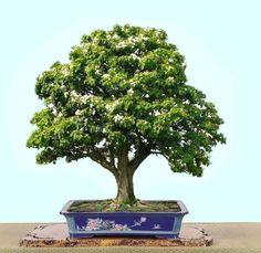 FÓRUM do Atelier do Bonsai - Mário A G Leal :: Exibir tópico - Identificação de bonsai [espécie]