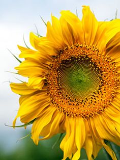 What's Your Color Personality? Growing Sunflowers, Planting Sunflowers, Sunflower Pictures, Sunflower Art, Beautiful Roses, Wild Flowers, Beautiful Flowers, My Flower, Flower Power