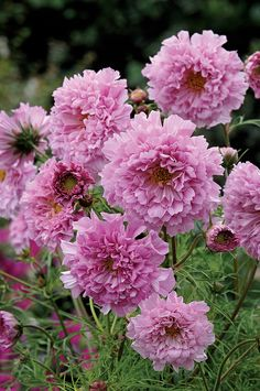 Cosmos 'Rose Bonbon' A showy new double cosmos from the Double Click series. Compact plants with strong branching stems. A wonderful addition to cut flower bouquets.