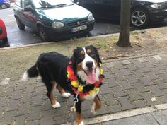 schoschana Bernese Mountain Dog   Pawshake