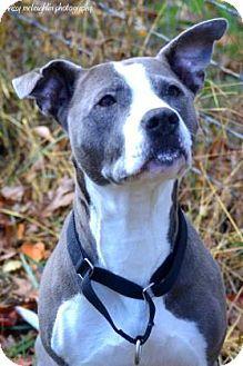 West Chester, PA - Pit Bull Terrier Mix. Meet Lexus, a dog for adoption. http://www.adoptapet.com/pet/11850261-west-chester-pennsylvania-pit-bull-terrier-mix