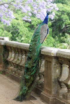 Peacock on a stone ledge