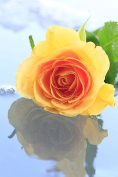 a yellow rose on the ice. by cate♪, via Flickr